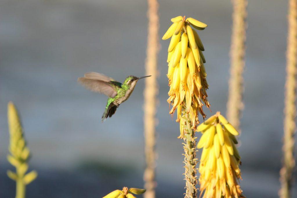 Curacao 2017 Kolibrie I